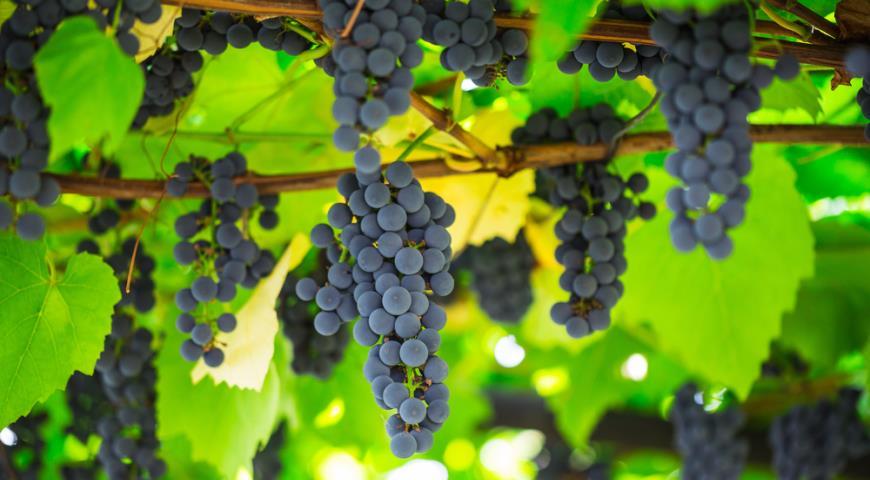 В Узбекистане выделят $100 млн на закладку виноградников